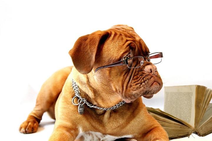 Pies w okularach do czytania - American Way