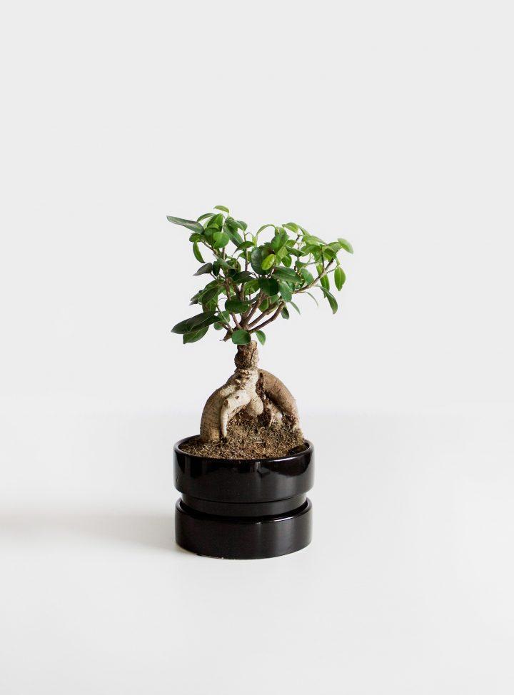 nawozy do drzewek bonsai