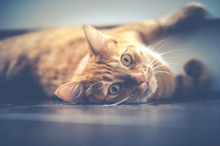 szampon rozplątujący dla kota