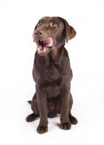 pies dog brązowy