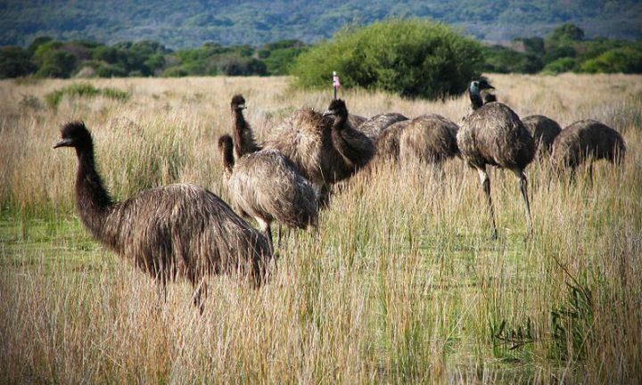 Wojna emu to próba zwalczania populacji ptaków bronią maszynową, która zakończyła się porażką.
