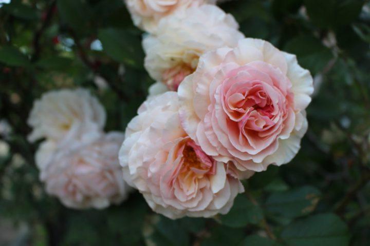 Ralph Lauren perfumy damskie na Ceneo.pl to wyjątkowe zapachy na wiosnę i lato.